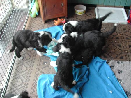rosi-puppies-003_bildgrose-andern
