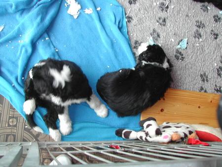 rosi-puppies-008_bildgrose-andern