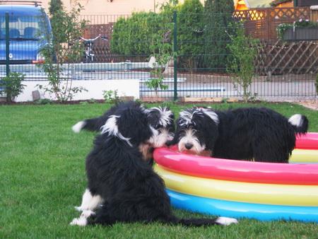 Abkühlung im Beardie-Pool