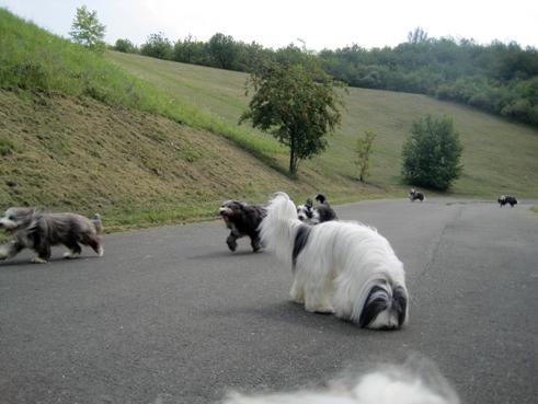 Eisbärbeardie mit langem Haar und Freunden!