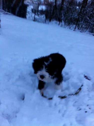 Beardie Damian im Schnee!