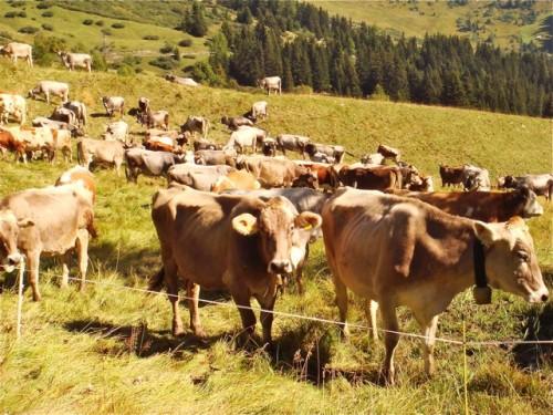 Kurz vor dem Almabtrieb sammel sich diese braunen Kühe