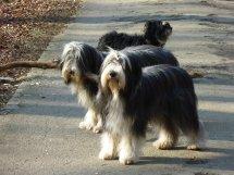 Beardie-Zwillinge!