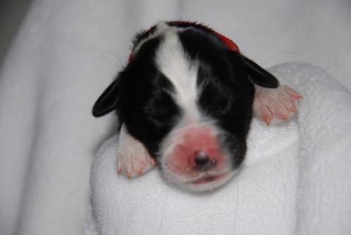 Siebtgeborener Welpe, Rüde, rotes Band