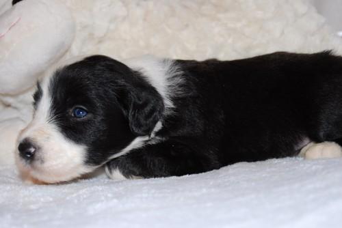 Achtgeborener Welpe, Rüde, blaues Band